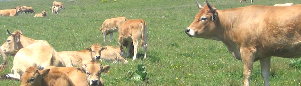 La filière bovine